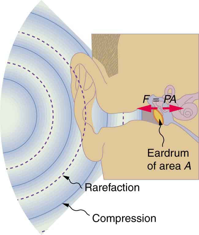 sound waves and the eardrum treatments for tinnitus : ear drum diagram - findchart.co
