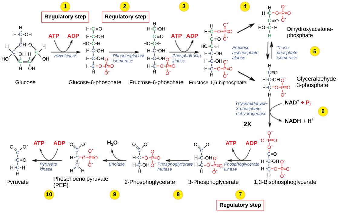 is cellular respiration anabolic or catabolic process