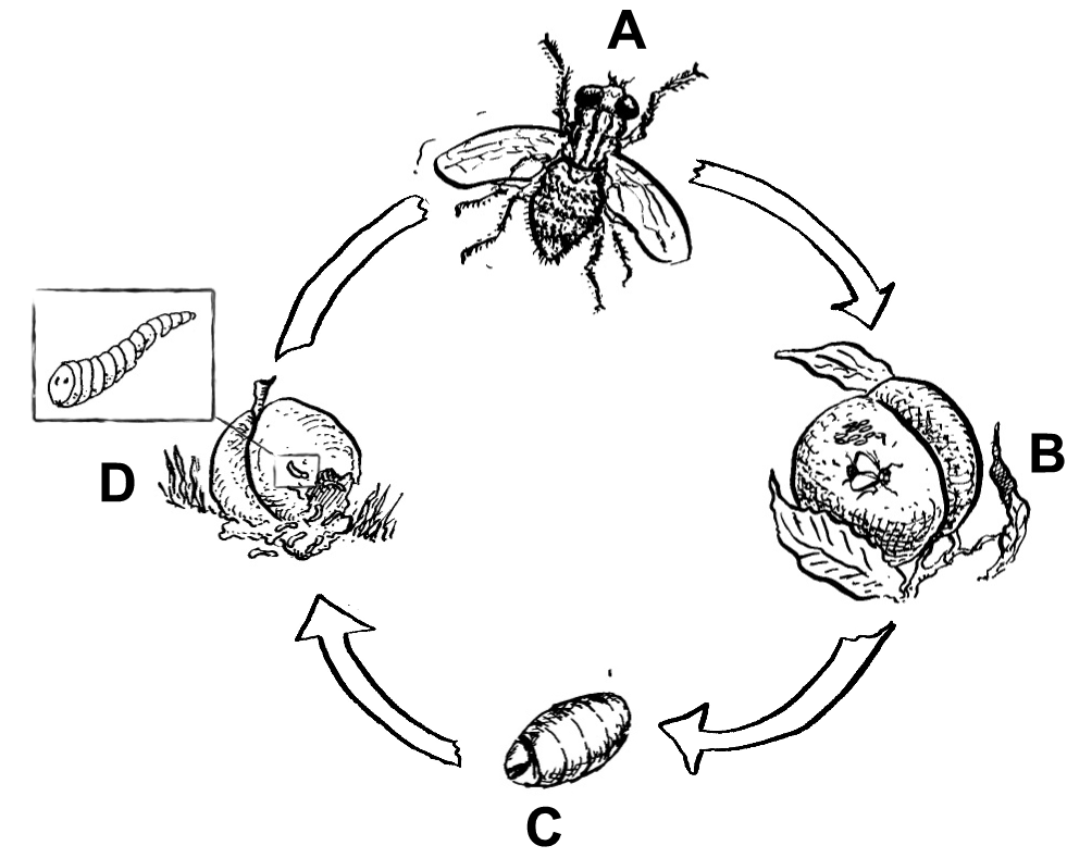Life cycle of fruit fly diagram best fruit 2017 dipteran definition life cycle habitat clification ccuart Image collections