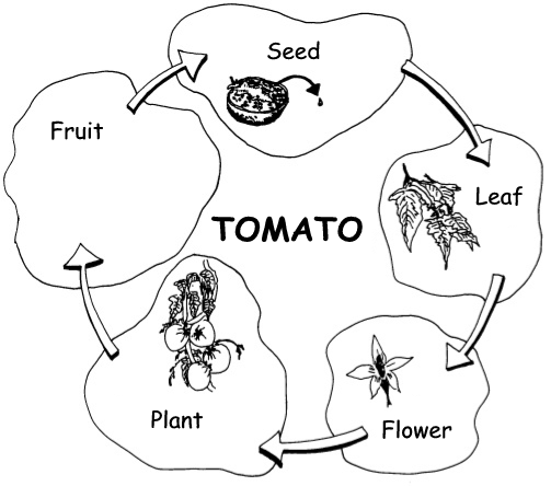 Reproduction by means of seeds paste one of the seeds on the diagram below the leaf flower and plant have been drawn for you you must draw the fruit ccuart Images
