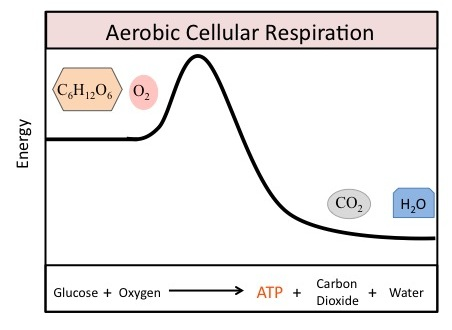 Overview of cellular respiration equation for aerobic cellular respiration ccuart Image collections