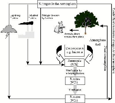 Global cycles the nitrogen cycle grade 10 a simplified diagram of the nitrogen cycle ccuart Image collections