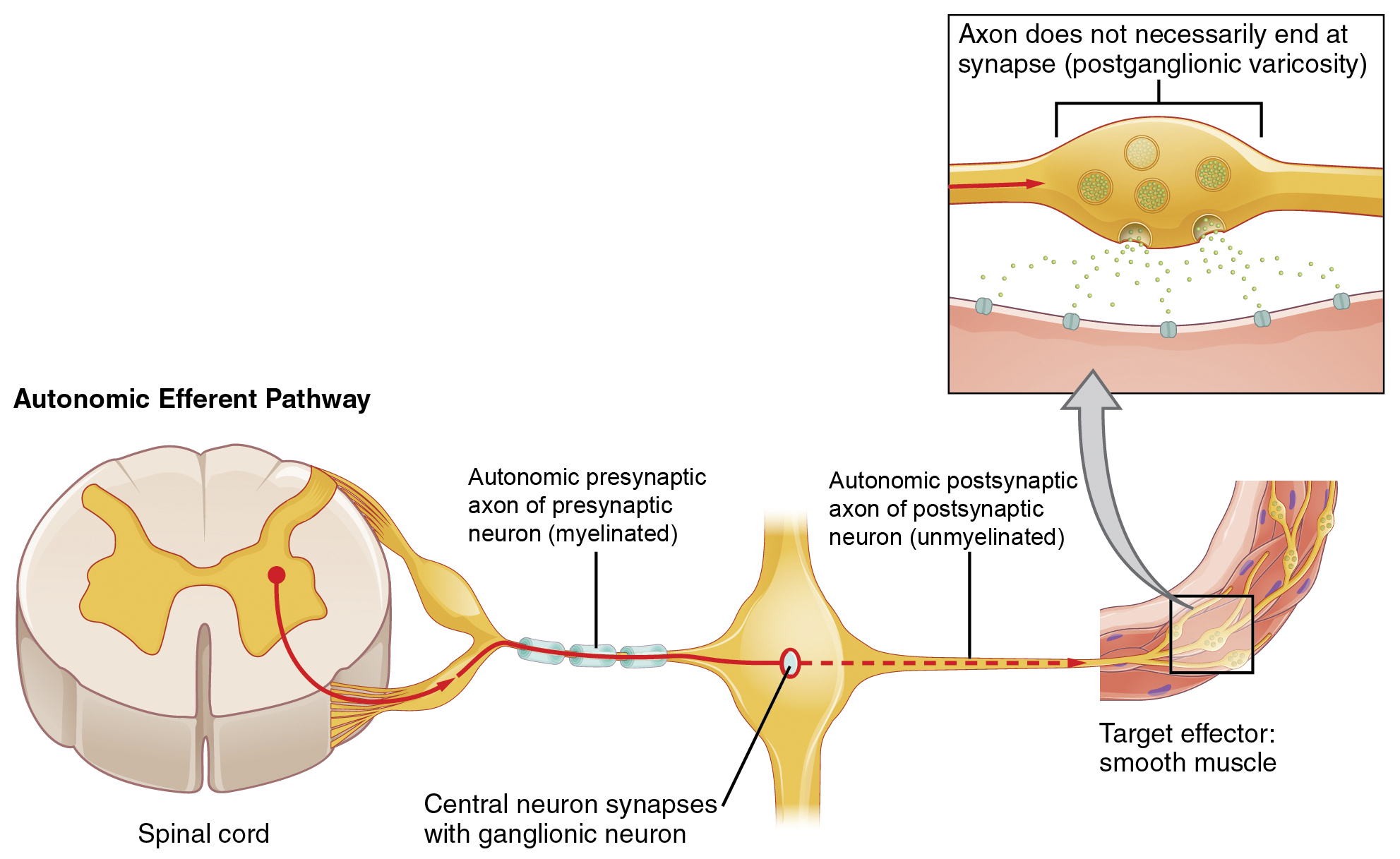 Ou human physiology autonomic reflexes and homeostasis the top panel in this figure shows the autonomic efferent pathway the spinal cord is ccuart Gallery