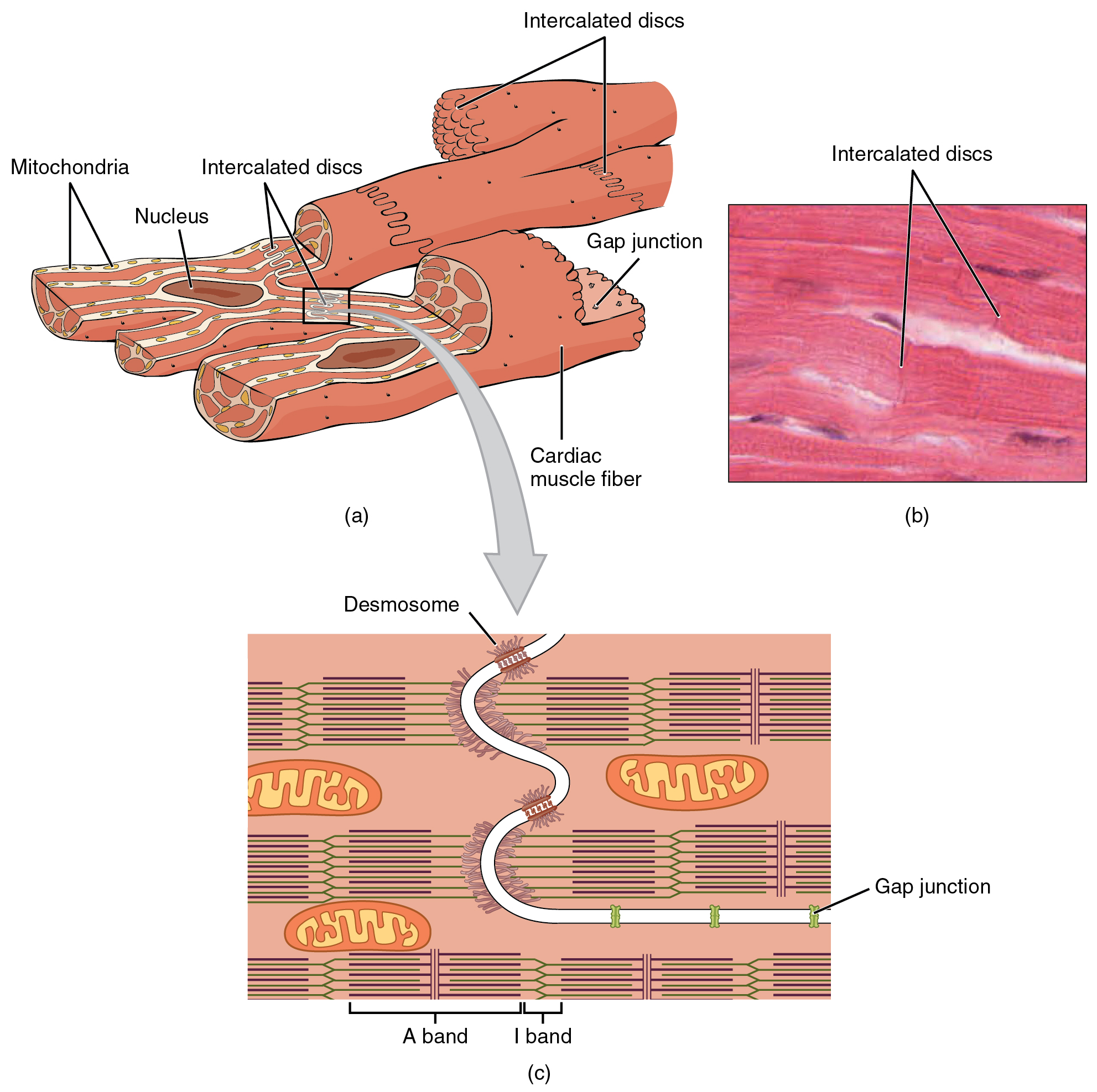 Heart Muscle Cell Diagram - Auto Wiring Diagram Today •