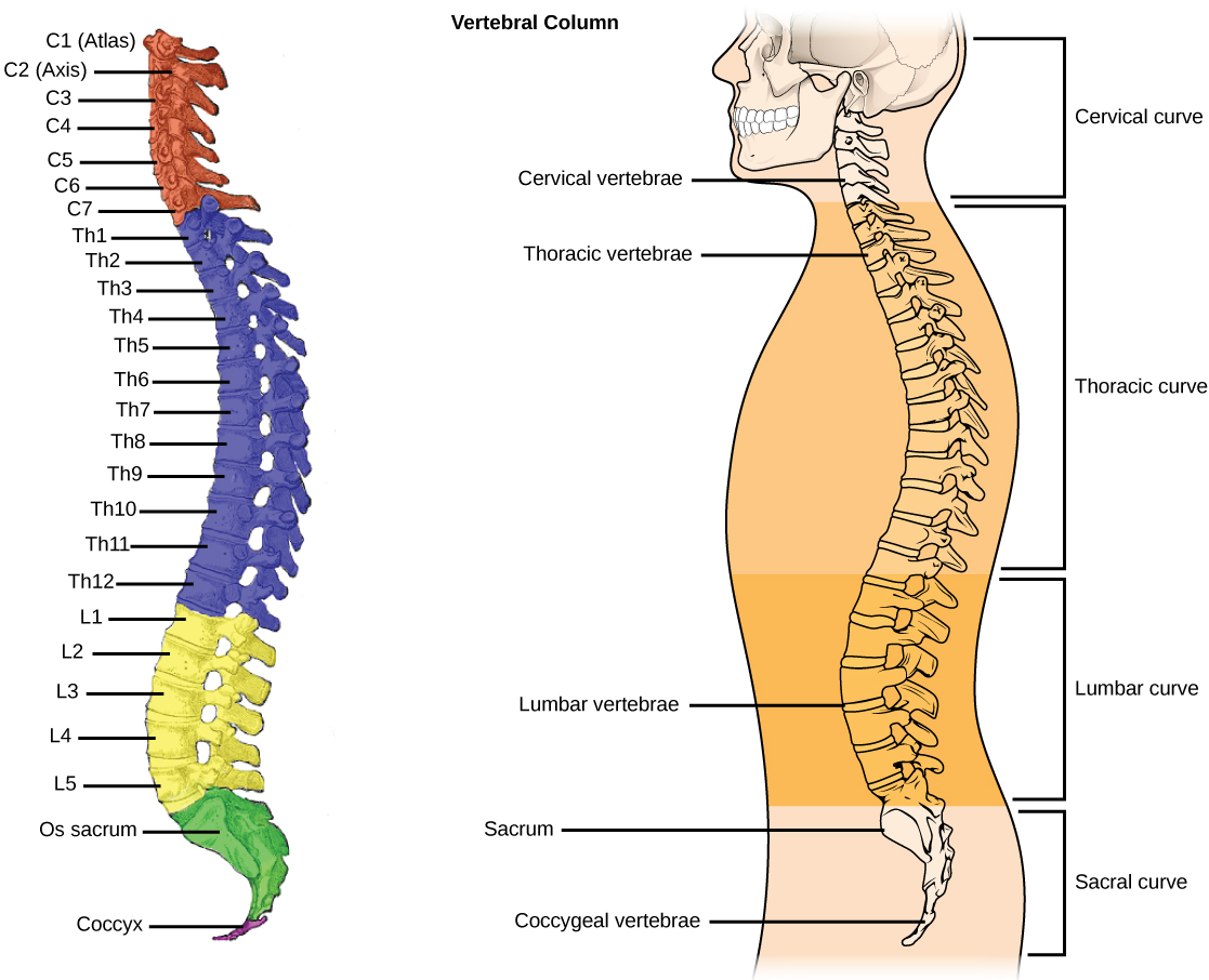 derived copy of types of skeletal systems : vertebrae diagram numbers - findchart.co