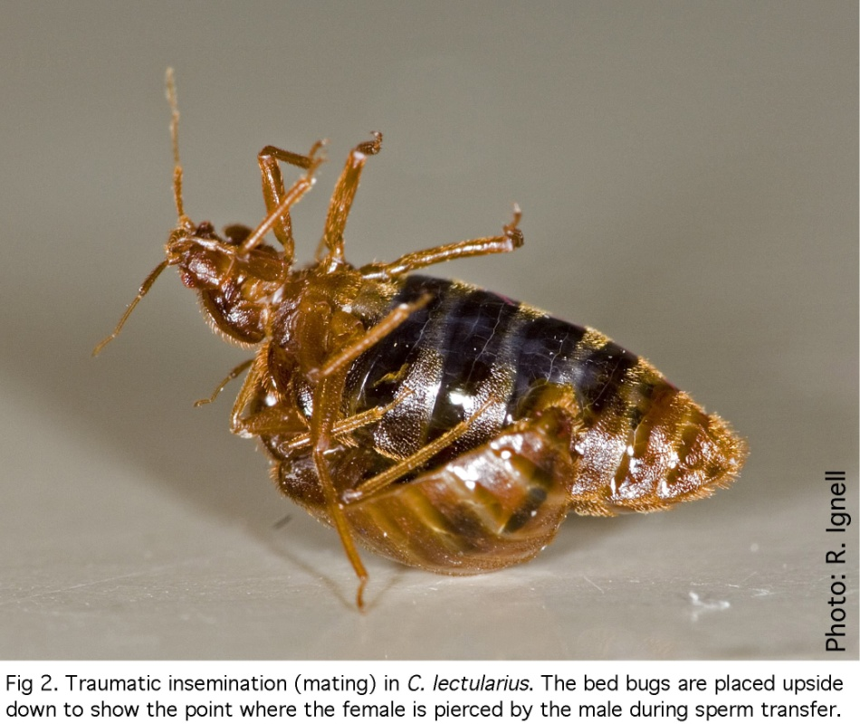 An image of a female being forcefully inseminated by a male bed bug.