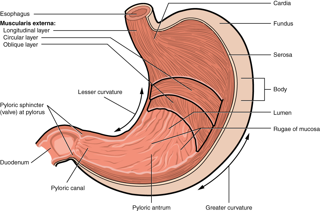 Digestive System Module 4: The Stomach
