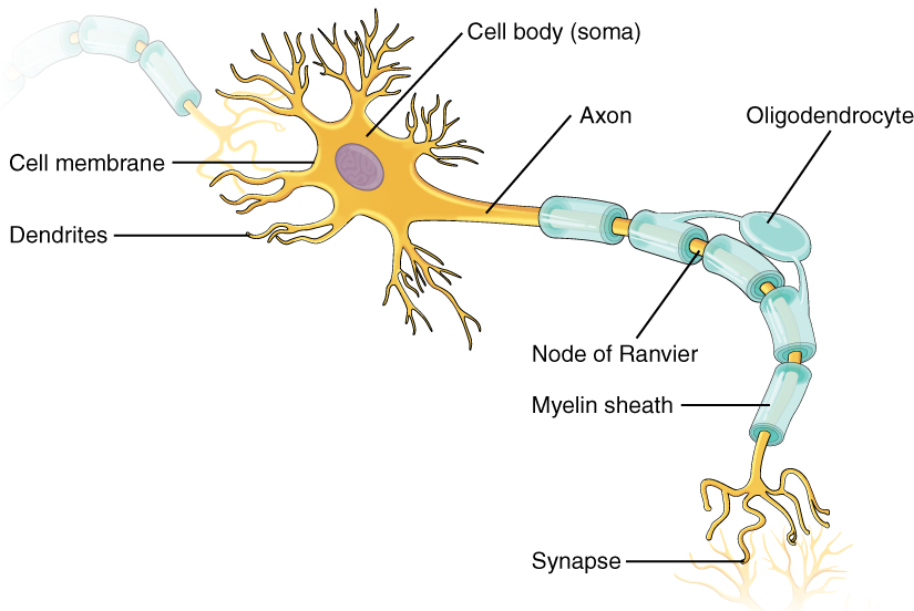 Review of Basic Neuron Anatomy