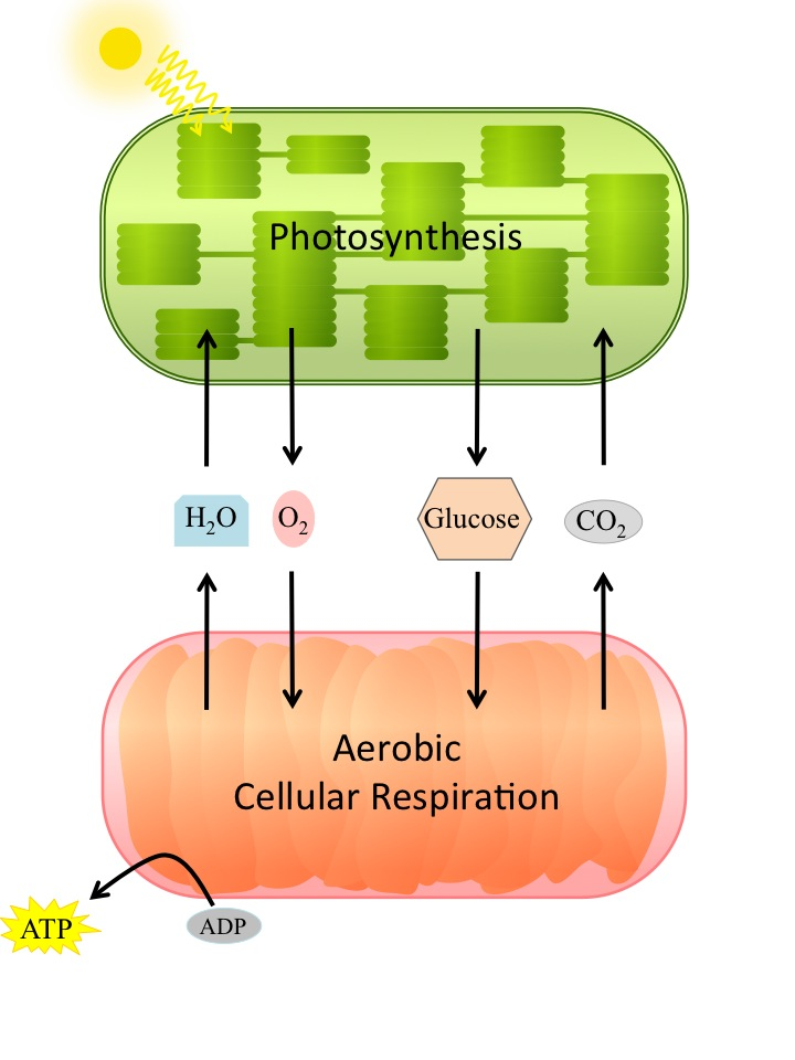 Overview of cellular respiration relationship between photosynthesis and cellular respiration ccuart Choice Image
