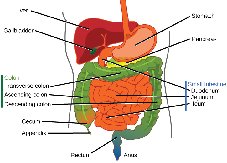 Digestive systems illustration shows the human lower digestive system which begins with the stomach a sac ccuart Gallery