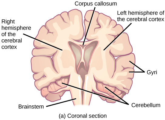 The central nervous system illustration shows coronal front and sagittal side sections of a human brain ccuart Image collections