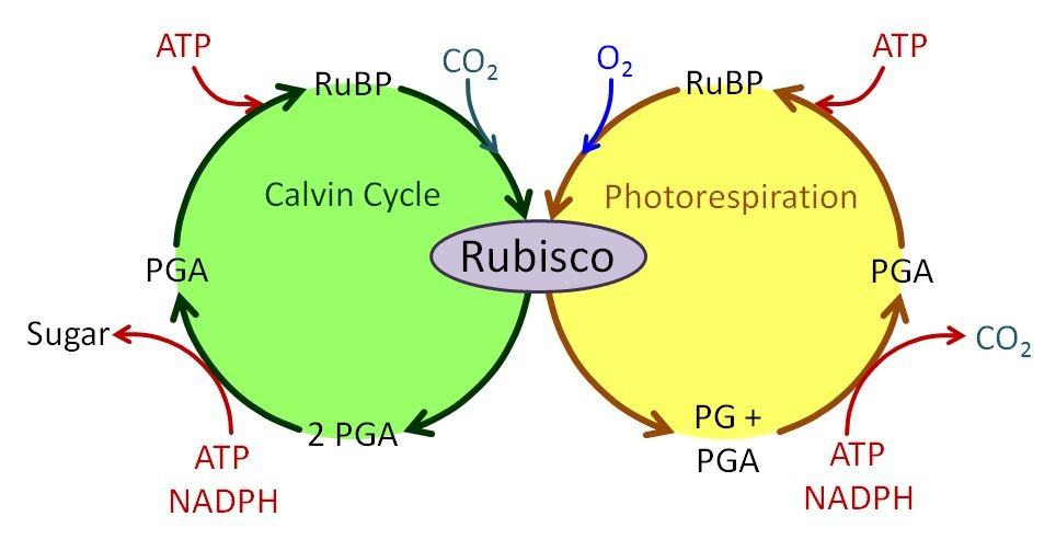 Photosynthetic pathways ccuart Images