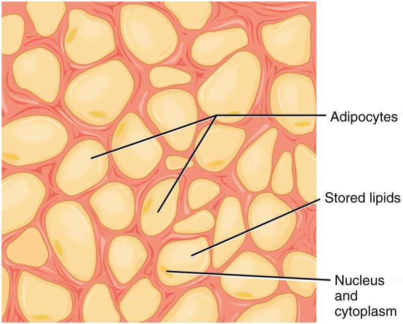 fibrous connective tissue : adipose tissue diagram - findchart.co