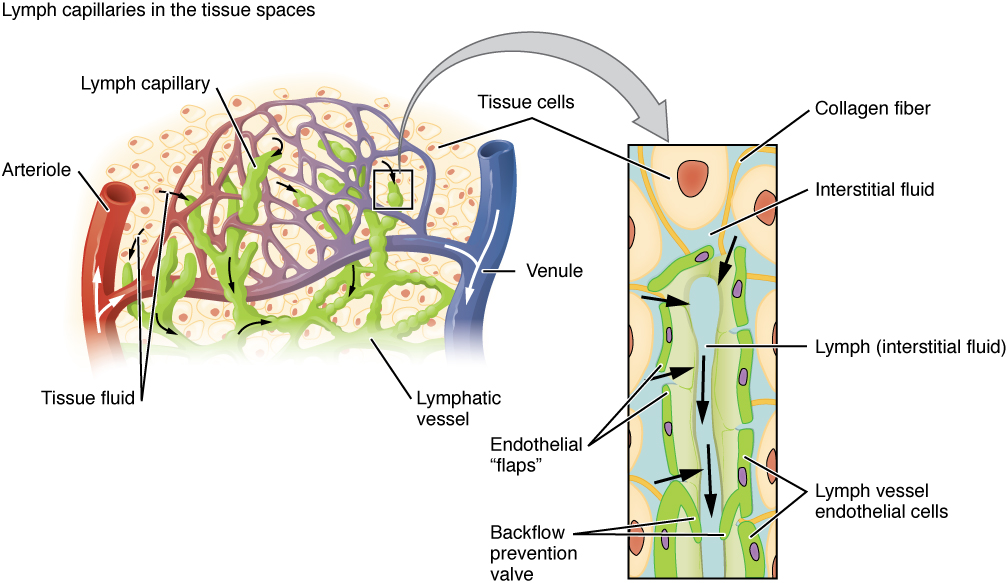 Anatomy of the Lymphatic and Immune Systems