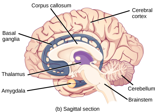 The central nervous system ccuart Images
