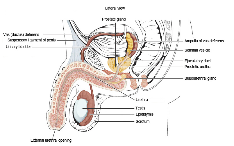Ou human physiology anatomy and physiology of the male reproductive this figure shows the different organs in the male reproductive system the top panel shows ccuart Choice Image