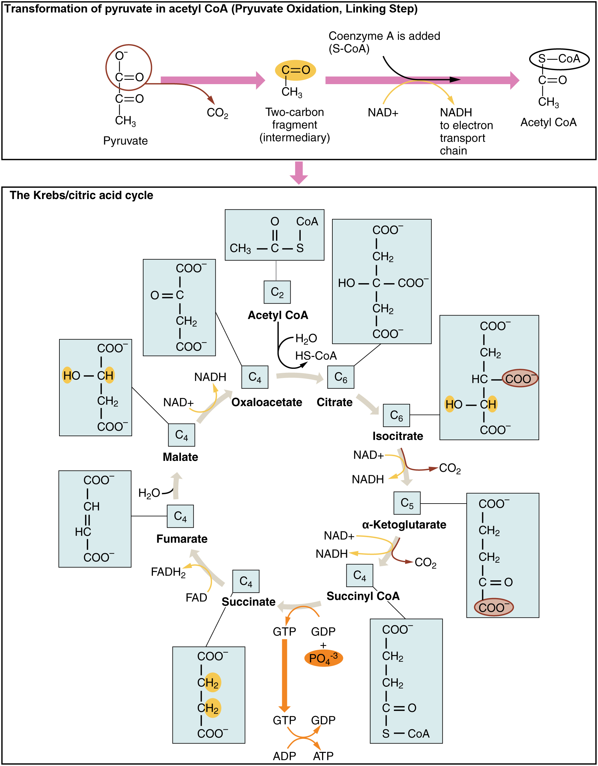 Ou human physiology carbohydrate metabolism krebs cycle pooptronica Image collections