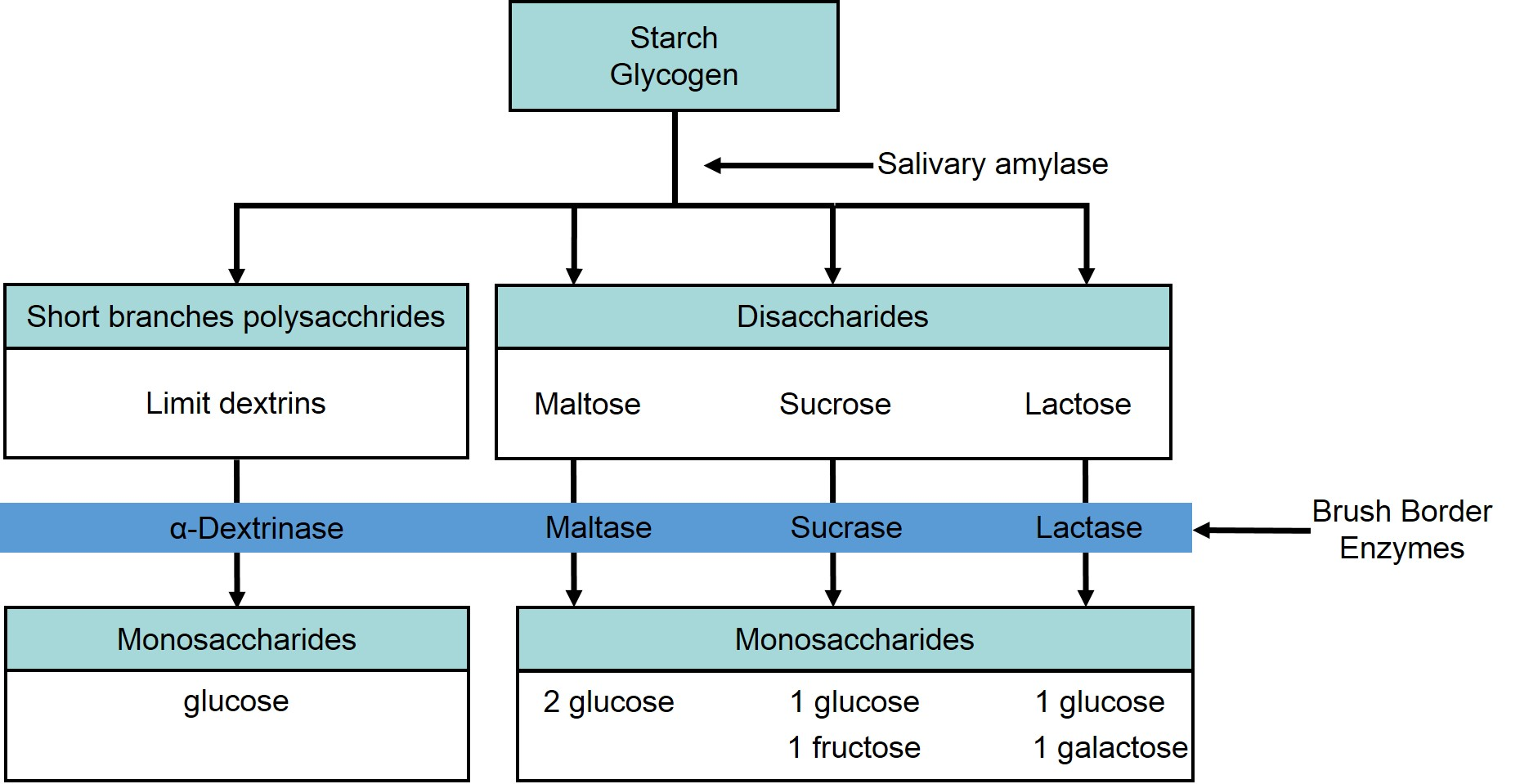 this flow chart shows the steps in digestion of carbohydrates  the  different levels shown are