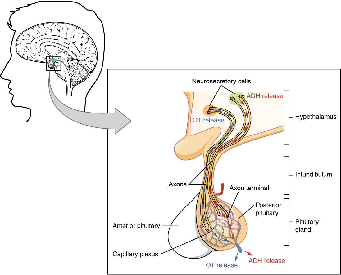 OU Human Physiology: The Pituitary Gland and Hypothalamus