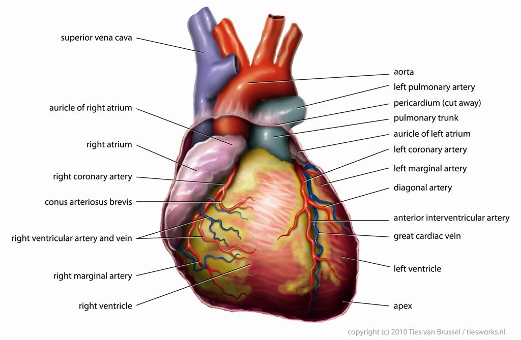 231 blood circulatory system figure 2 general structure of the heart and associated blood vessels httpenpediawikifileanatomyheartenglishtiesworksg ccuart Images