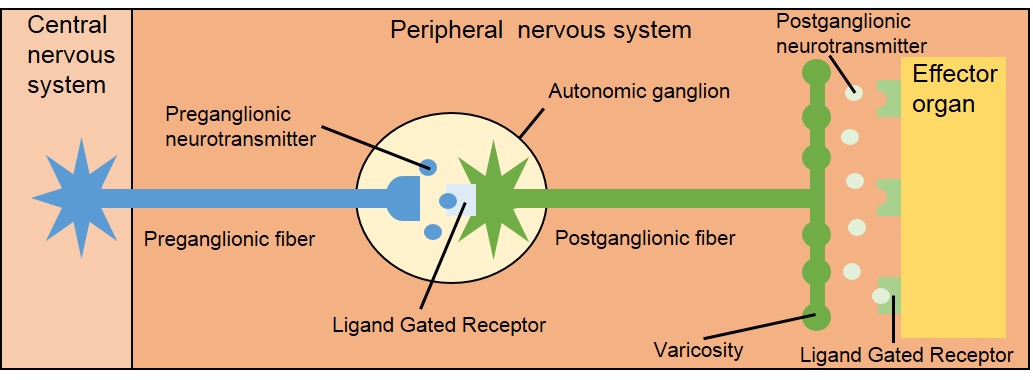 OU Human Physiology: Divisions of the Autonomic Nervous System