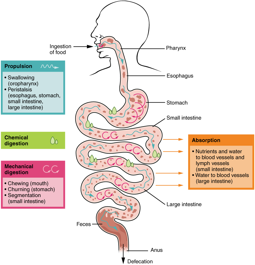 digestive system processes and regulation, Cephalic vein