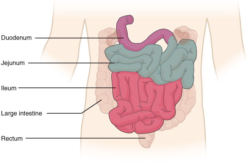 ou human physiology the small and large intestines : jejunum and ileum diagram - findchart.co