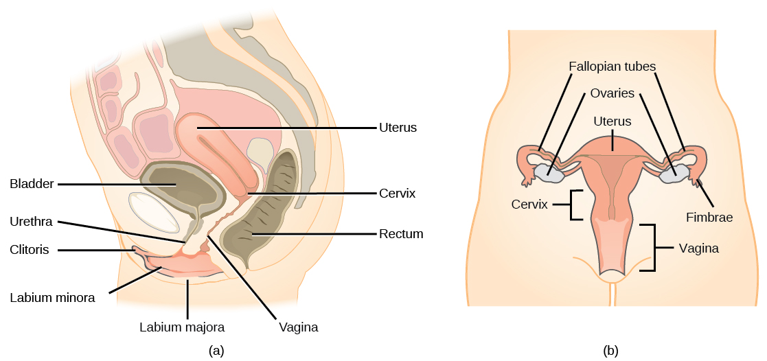 Human Biology Chapter 14.3: Female Reproductive Anatomy and ...