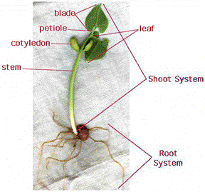 211 anatomy of dicotyledenous plants differences between monocotyledonous and dicotyledonous plants ccuart Image collections