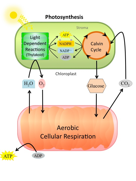 ap biology essays cell respiration Videos anatomy and physiology ap biology ap chemistry ap environmental science ap paul andersen covers the processes of aerobic and anaerobic cellular respiration.