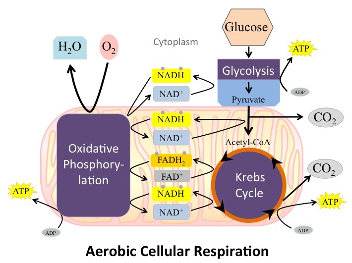 Overview of cellular respiration overview of aerobic cellular respiration ccuart Images