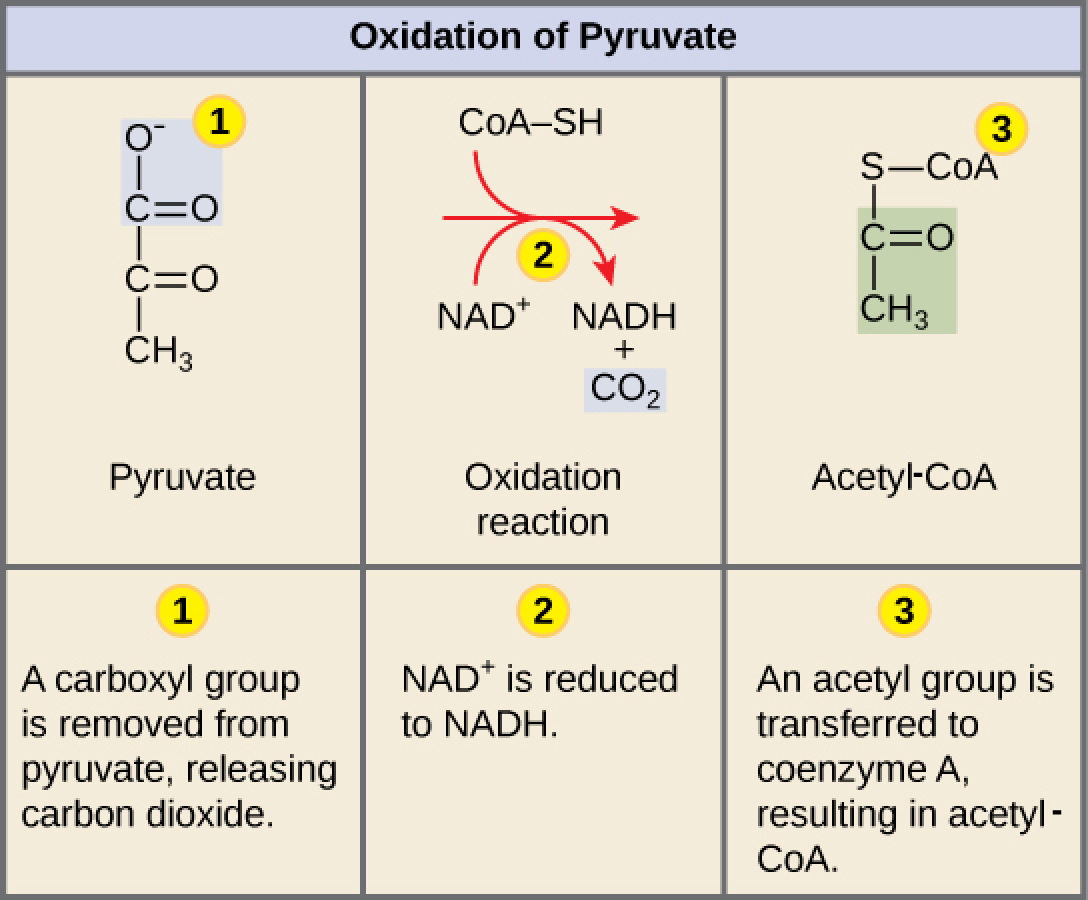 Oxidation of Pyruvate and the Krebs Cycle