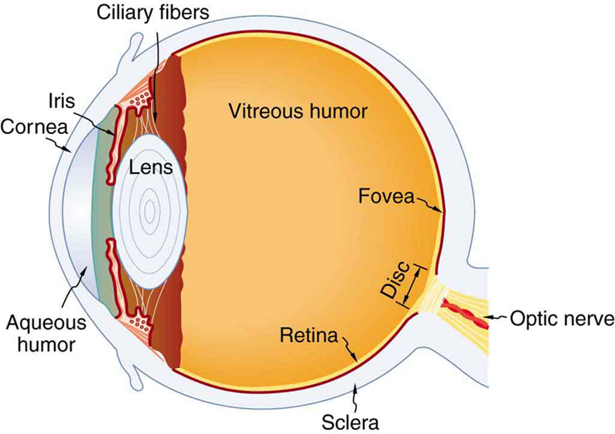Physics of the eye the figure depicts the internal structure of an eye with labels these labels include cornea ccuart Choice Image