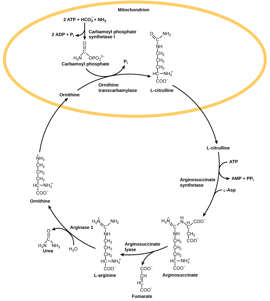 Derived copy of Nitrogenous Wastes