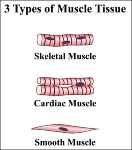 143 animal tissues muscle tissue ccuart Image collections