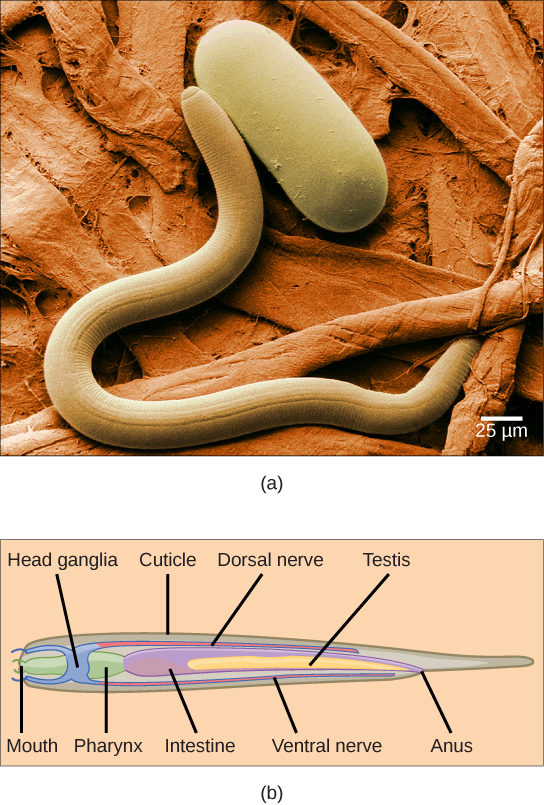 Nematodes And Arthropods