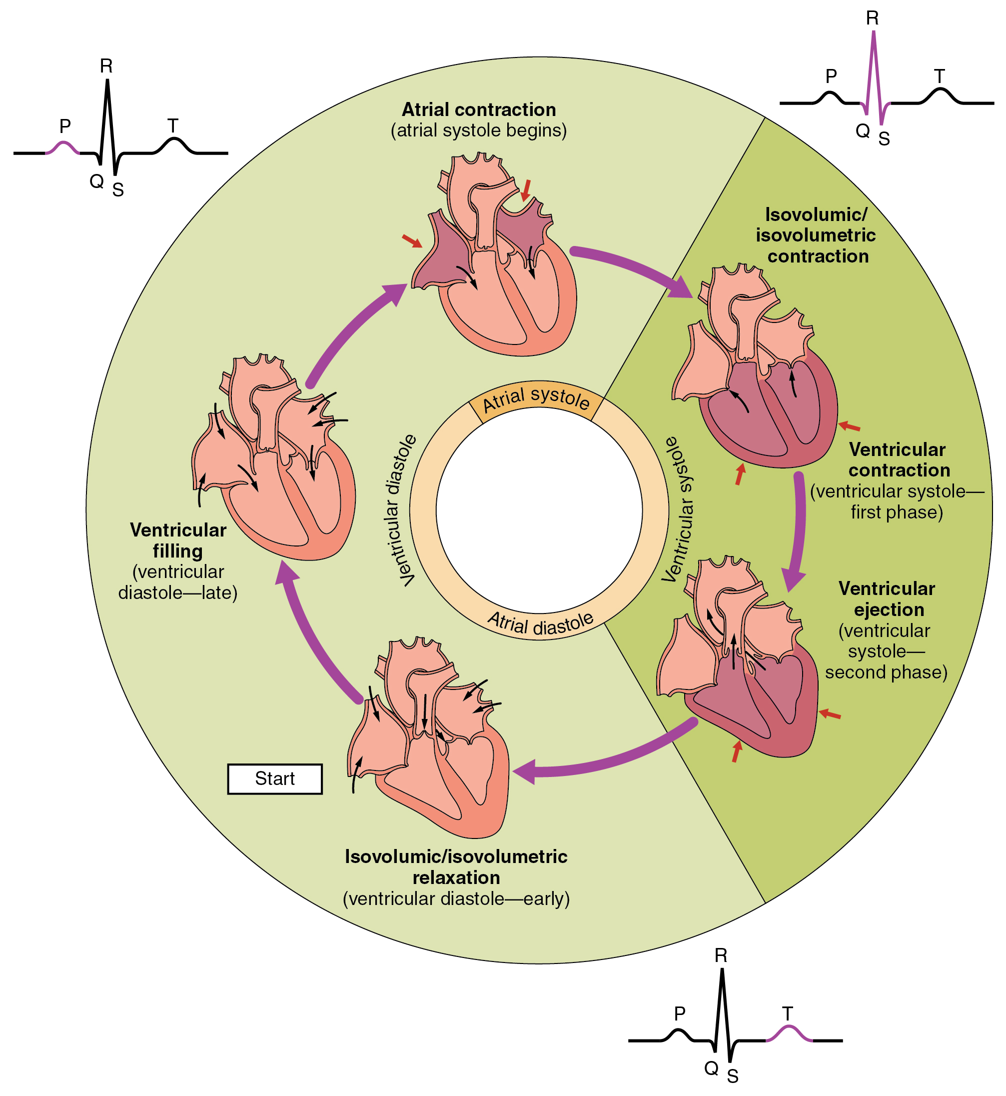 Human biology chapter 84 cardiac cycle pressures and flow nvjuhfo Image collections
