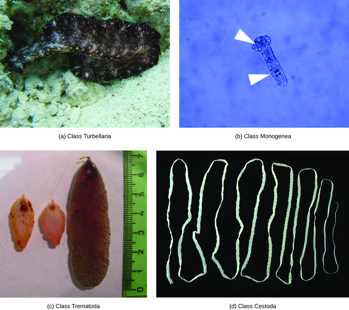 Flatworms Annelids And Mollusks