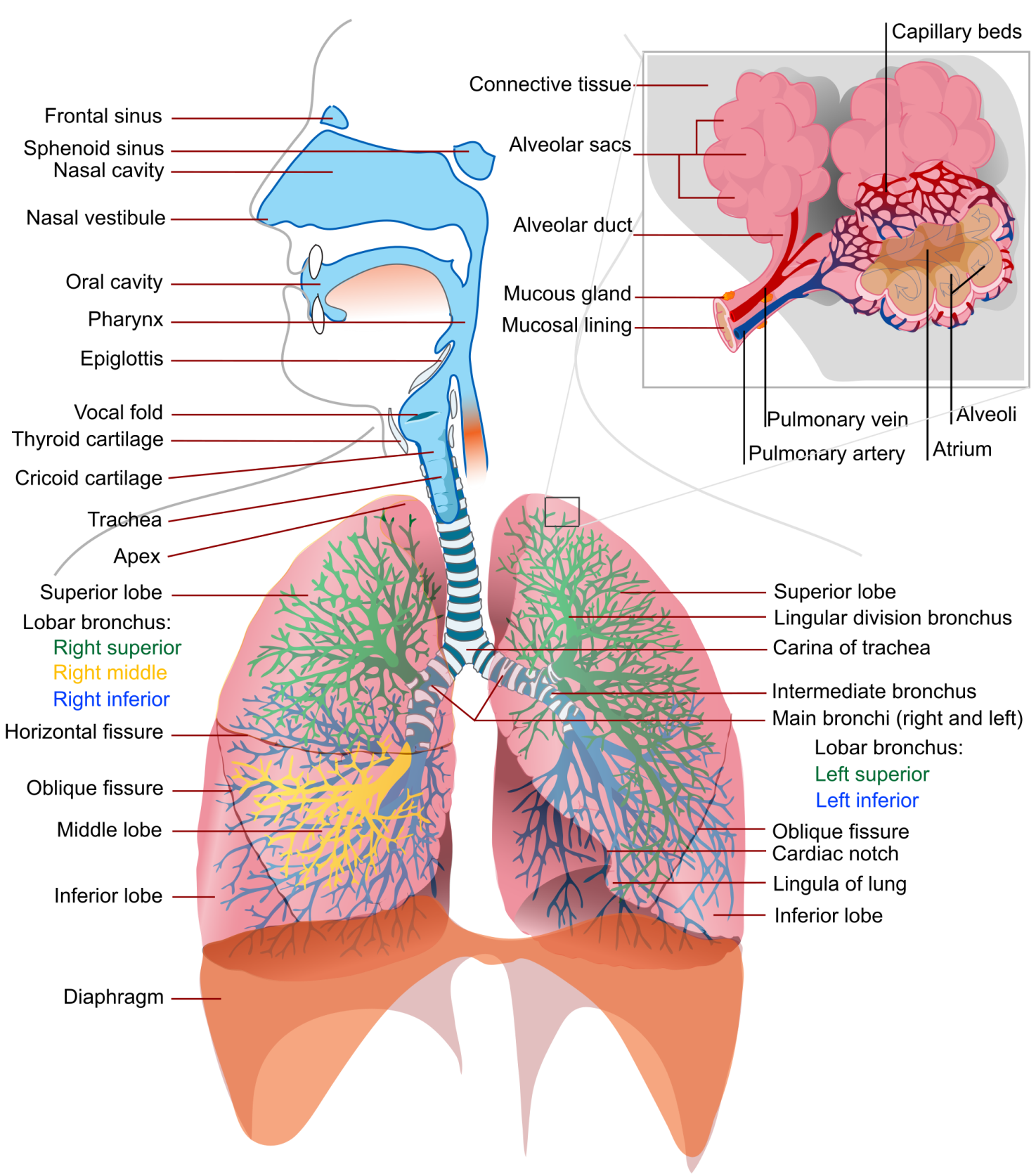 231 blood circulatory system figure very detailed image of the lungs it is not necessary or required to know all this detail but this is a fantastic image of the lungs wikipedia ccuart Gallery