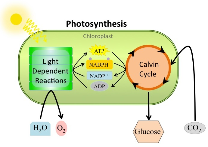 What is the process of photosynthesis ?