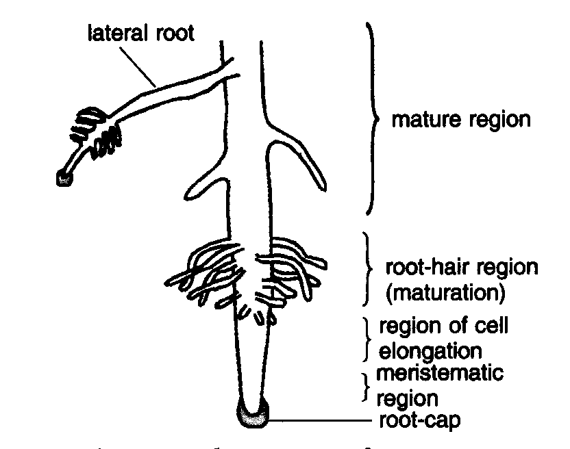 Root Cap Diagram