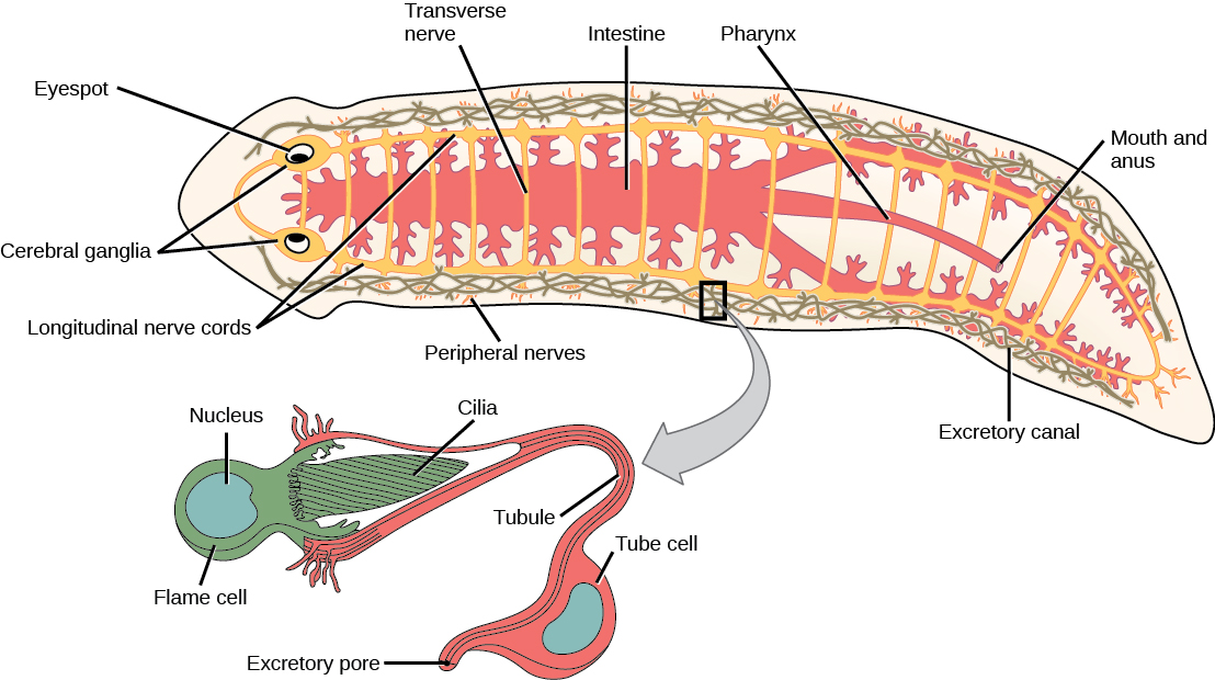 Flatworms annelids and mollusks illustration shows the digestive nervous and excretory systems in a flat worm like ccuart