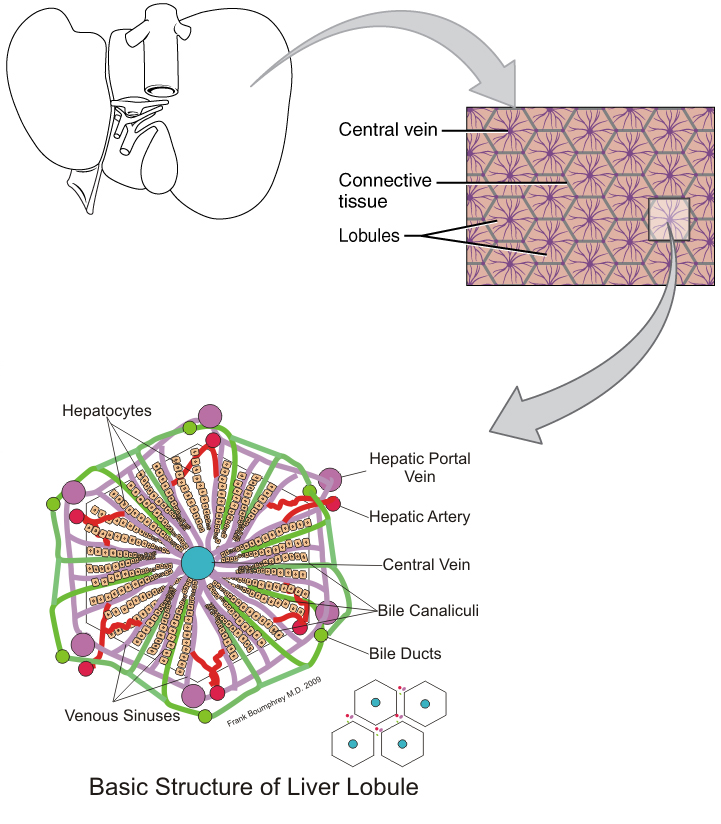 Ou Human Physiology Accessory Organs In Digestion The Liver