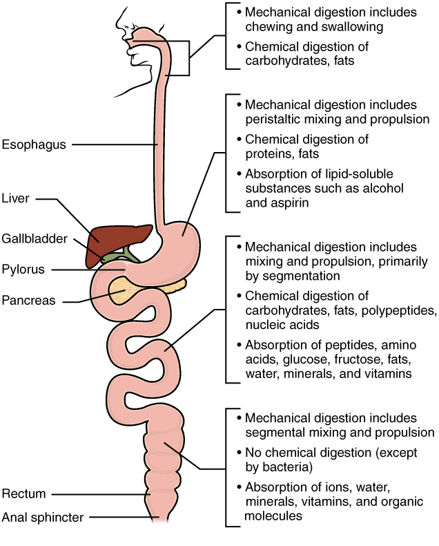 digestive system module 7 chemical digestion and absorption a  : protein digestion diagram - findchart.co