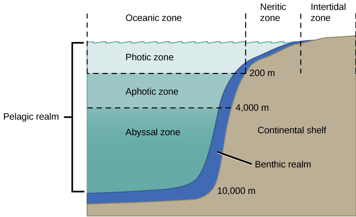 Light penetration of the neritic zone galleries